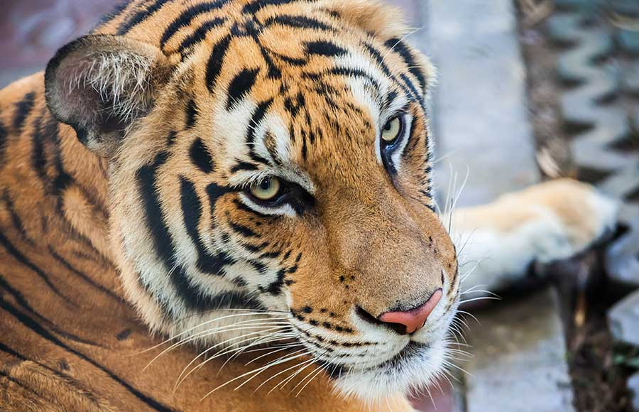 Where do you see tigers in Thailand?